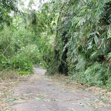 Bambu tumbang ke badan jalan Penyebeh Malet Desa pengotan